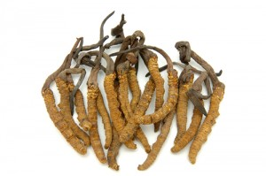 Cordyceps or caterpillar fungus