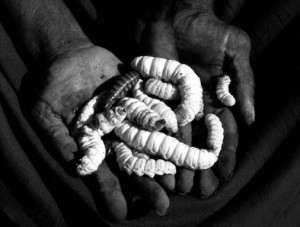 Witchetty Grub Australia