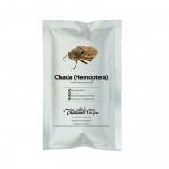 Edible Cisada (Hemoptera)