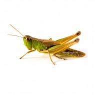 Edible Grasshoppers - Caelifera
