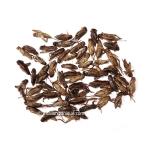 500g Dehydrated Acheta Domestica Crickets