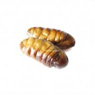 Edible Silkworm Pupae - Bombyx Mori