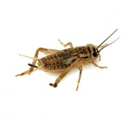 Edible Pregnant Field Crickets