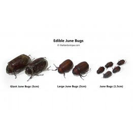 Giant Edible June Bugs