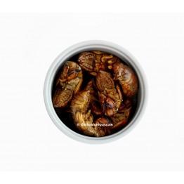 Edible Cicada (Hemiptera)