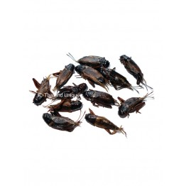 Edible Black Crickets - Gryllus Bimaculatus