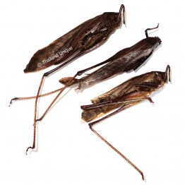 Dehydrated Giant Katydids
