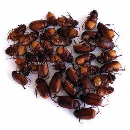 Dehydrated June Beetles